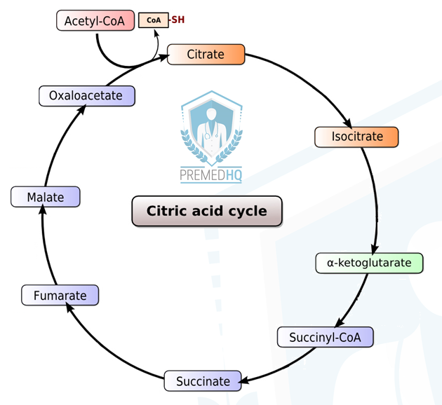 How to Memorize the Krebs Cycle (aka Citric Acid Cycle or TCA Cycle ...