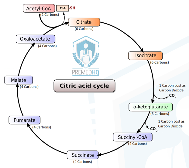 How To Memorize The Krebs Cycle Aka Citric Acid Cycle Or Tca Cycle